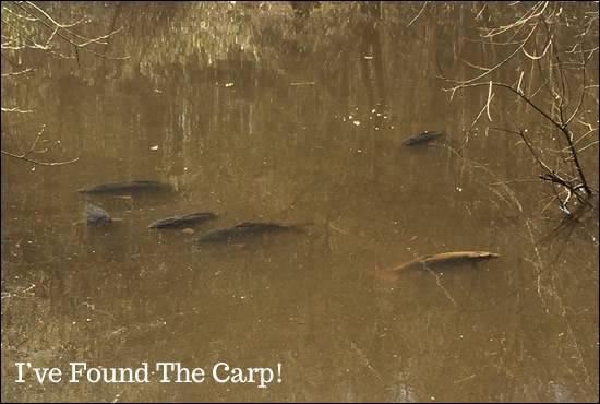 Carp Patrolling