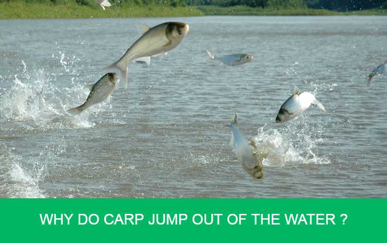 Why do carp jump out of the water