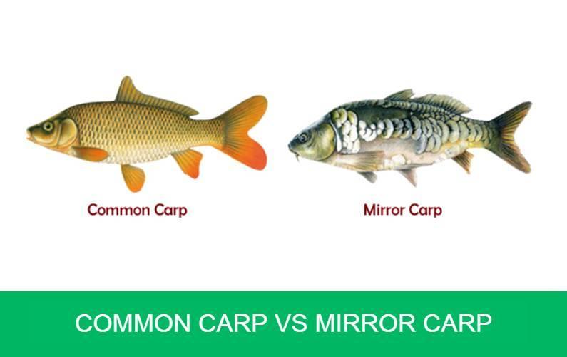 Common Carp vs Mirror Carp